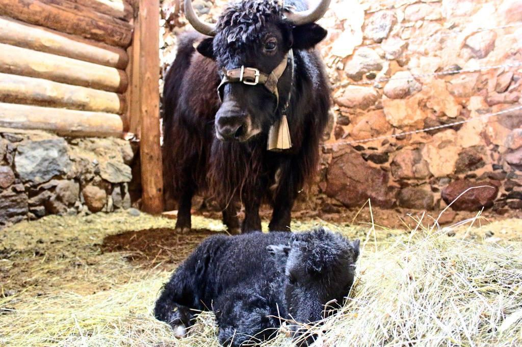 Päevavanune jakipoiss Pemba oma ema La'ga Mustakurmus