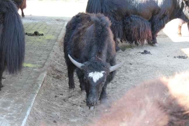 Väike Norbu varasuvel Tallinna loomaaias