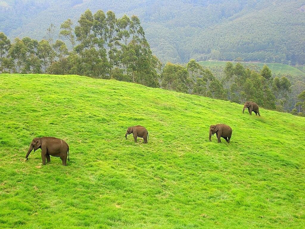 Metsikud elevandid Munnaris. Foto: Wikipedia